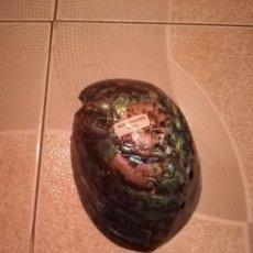 Coleccionismo de moluscos: GRAN CONCHA DE NACAR VERDE. PROCEDENCIA NUEVA ZELANDA. Lote 179144970
