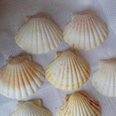 Coleccionismo de moluscos: LOTE DE SIETE CONCHAS NATURALES VIEIRAS GALICIA PEREGRINACIÓN A SANTIAGO. 11 CM APROX.. Lote 180325305