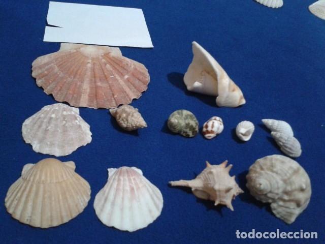LOTE 12 ANTIGUAS ( CARACOLAS Y CONCHAS MARINAS ) CARACOL DE MAR COLECCION (Coleccionismo - Malacología )