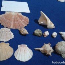 Coleccionismo de moluscos: LOTE 12 ANTIGUAS ( CARACOLAS Y CONCHAS MARINAS ) CARACOL DE MAR COLECCION . Lote 181498812