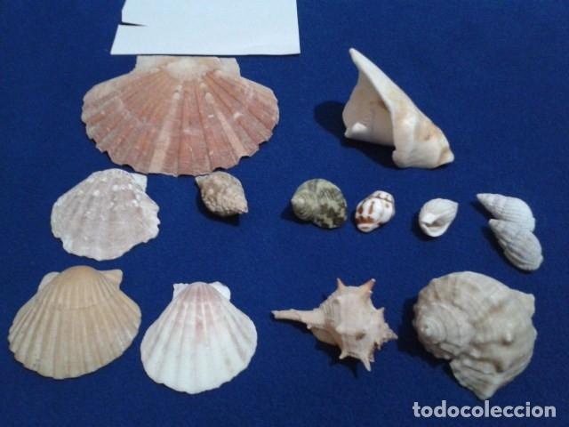 Coleccionismo de moluscos: LOTE 12 ANTIGUAS ( CARACOLAS Y CONCHAS MARINAS ) CARACOL DE MAR COLECCION - Foto 2 - 181498812