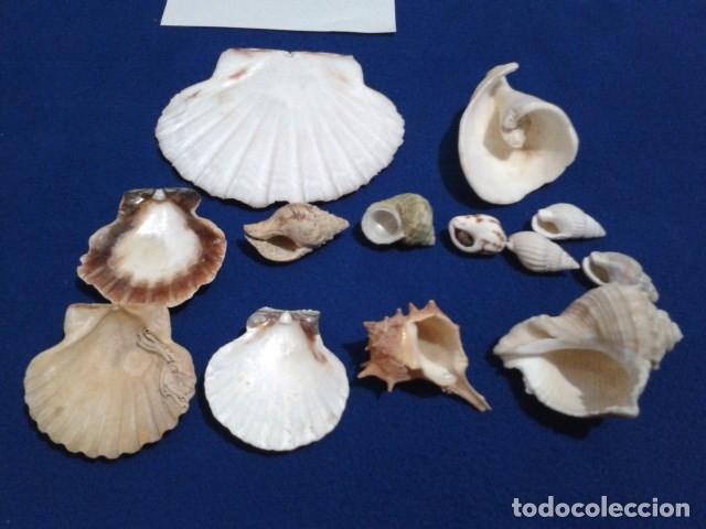Coleccionismo de moluscos: LOTE 12 ANTIGUAS ( CARACOLAS Y CONCHAS MARINAS ) CARACOL DE MAR COLECCION - Foto 3 - 181498812