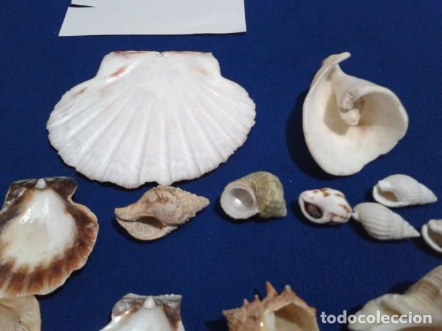 Coleccionismo de moluscos: LOTE 12 ANTIGUAS ( CARACOLAS Y CONCHAS MARINAS ) CARACOL DE MAR COLECCION - Foto 4 - 181498812