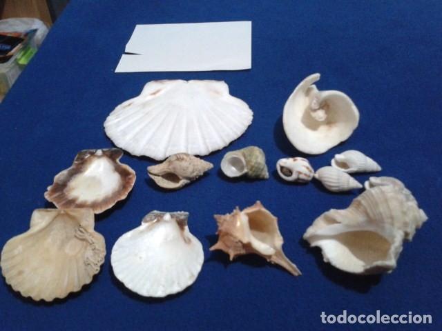 Coleccionismo de moluscos: LOTE 12 ANTIGUAS ( CARACOLAS Y CONCHAS MARINAS ) CARACOL DE MAR COLECCION - Foto 5 - 181498812