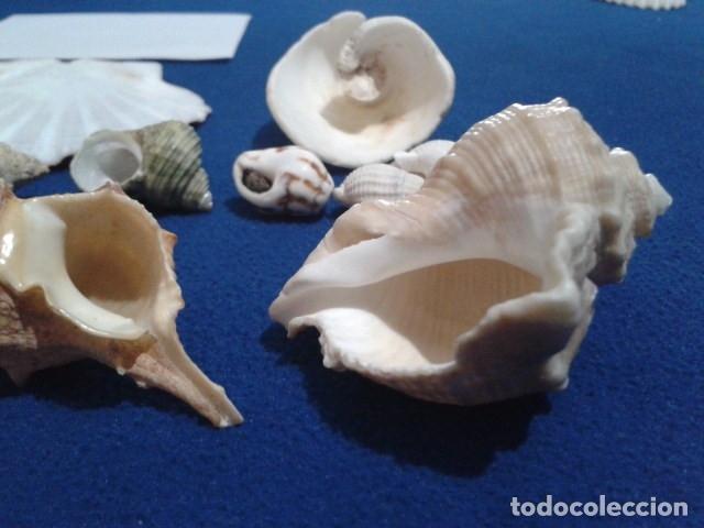 Coleccionismo de moluscos: LOTE 12 ANTIGUAS ( CARACOLAS Y CONCHAS MARINAS ) CARACOL DE MAR COLECCION - Foto 6 - 181498812