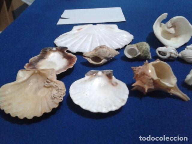 Coleccionismo de moluscos: LOTE 12 ANTIGUAS ( CARACOLAS Y CONCHAS MARINAS ) CARACOL DE MAR COLECCION - Foto 7 - 181498812