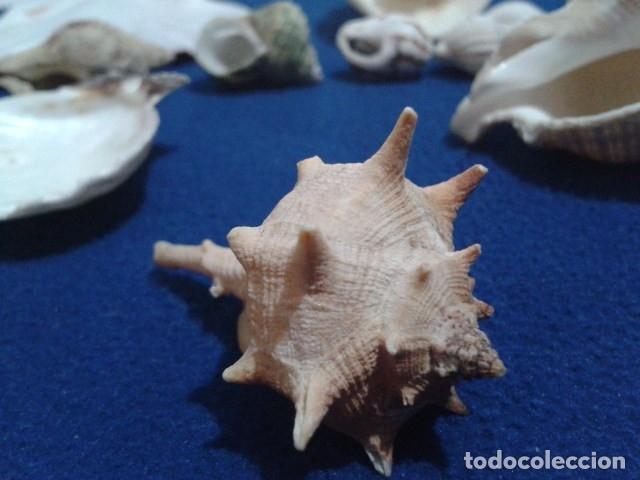 Coleccionismo de moluscos: LOTE 12 ANTIGUAS ( CARACOLAS Y CONCHAS MARINAS ) CARACOL DE MAR COLECCION - Foto 8 - 181498812