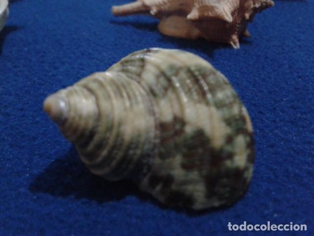 Coleccionismo de moluscos: LOTE 12 ANTIGUAS ( CARACOLAS Y CONCHAS MARINAS ) CARACOL DE MAR COLECCION - Foto 13 - 181498812