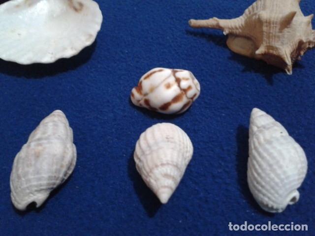 Coleccionismo de moluscos: LOTE 12 ANTIGUAS ( CARACOLAS Y CONCHAS MARINAS ) CARACOL DE MAR COLECCION - Foto 17 - 181498812