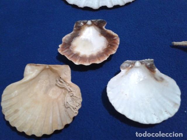 Coleccionismo de moluscos: LOTE 12 ANTIGUAS ( CARACOLAS Y CONCHAS MARINAS ) CARACOL DE MAR COLECCION - Foto 19 - 181498812
