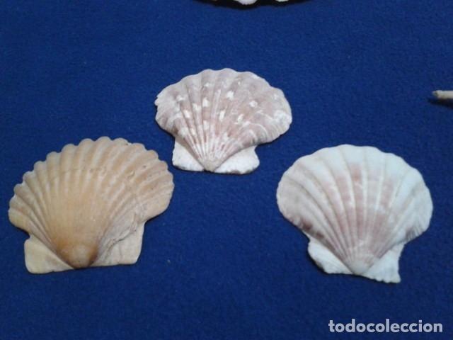 Coleccionismo de moluscos: LOTE 12 ANTIGUAS ( CARACOLAS Y CONCHAS MARINAS ) CARACOL DE MAR COLECCION - Foto 20 - 181498812