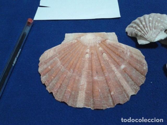 Coleccionismo de moluscos: LOTE 12 ANTIGUAS ( CARACOLAS Y CONCHAS MARINAS ) CARACOL DE MAR COLECCION - Foto 22 - 181498812