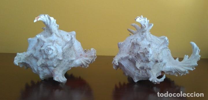 Coleccionismo de moluscos: CONCHAS CARACOLA MARINA - Foto 3 - 181565323