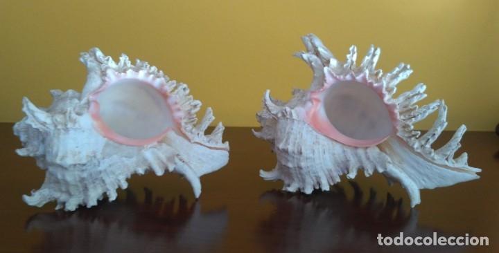 Coleccionismo de moluscos: CONCHAS CARACOLA MARINA - Foto 8 - 181565323