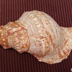 Coleccionismo de moluscos: PRECIOSA CARACOLA. Lote 182426655