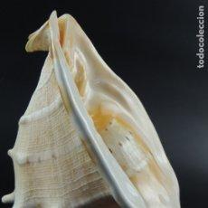 Coleccionismo de moluscos: CARACOL CARACOLA CONCHA MARINA MAR GRANDE. Lote 182551763