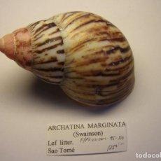 Coleccionismo de moluscos: CARACOL SHELL SNAIL ARCHATINA MARGINATA.. Lote 184706885