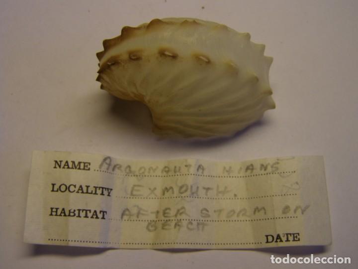 CARACOL SHELL SNAIL ARGONAUTA HIANS. EXMOUTH. (Coleccionismo - Malacología )
