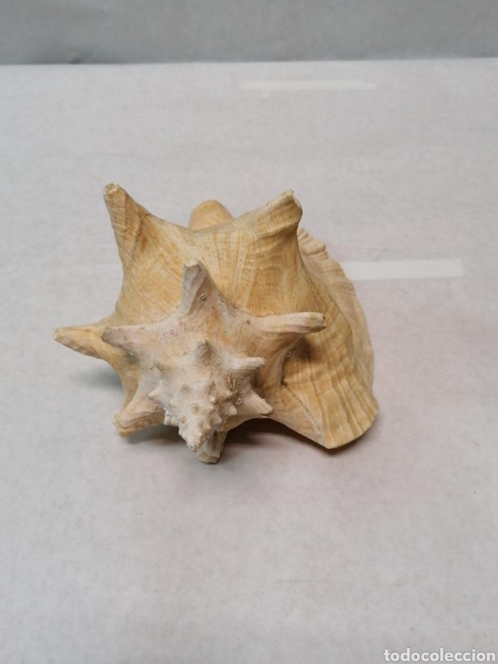 CARACOLA DE MAR (Coleccionismo - Malacología )