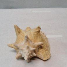 Coleccionismo de moluscos: CARACOLA DE MAR. Lote 186310221