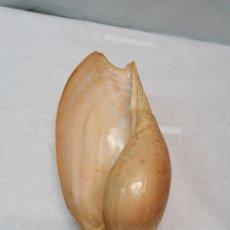 Coleccionismo de moluscos: GRAN CARACOLA. Lote 186310571