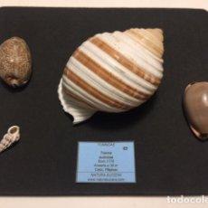 Coleccionismo de moluscos: BONITO LOTE DE CONCHAS MARINAS, COMPUESTO POR 4 EJEMPLARES EN EXCELENTES CONDICIONES . Lote 186713688