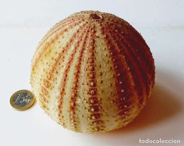 Coleccionismo de moluscos: CUERPO ERIZO DE MAR GRANDE. - Foto 2 - 188424662