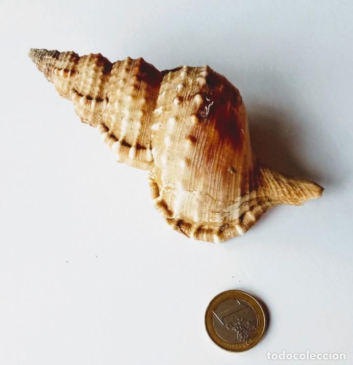 MOLUSCO CARACOL CARACOLA MARINA RANELLA OLEARIUM. MEDITERRÁNEO. (Coleccionismo - Malacología )