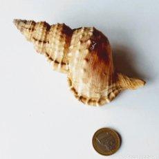 Coleccionismo de moluscos: MOLUSCO CARACOL CARACOLA MARINA RANELLA OLEARIUM. MEDITERRÁNEO.. Lote 188426636