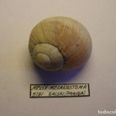 Colecionismo de moluscos: CARACOL SHELL SNAIL HÉLIX MELANOSTOMA, SALSES, FRANCIA.. Lote 188569413