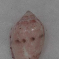 Coleccionismo de moluscos: L0817 MARGINELLA ROSEA 31.70 SENEGAL, WEST AFRICA. Lote 189263058
