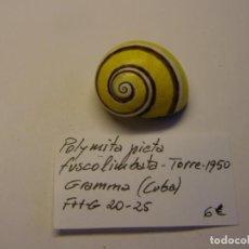 Coleccionismo de moluscos: CARACOL SHELL SNAIL POLIMITA PICTA FUSCOLIMBATA. CUBA. Nº 2.. Lote 218556268