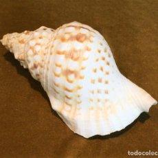 Coleccionismo de moluscos: CONCHA MARINA,CASSIDARIAS,24 CM.. Lote 191103646