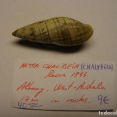 Coleccionismo de moluscos: CARACOL SHELL MITRA CHALYBELA. AUSTRALIA.. Lote 191378185