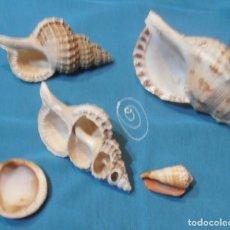 Coleccionismo de moluscos: 3 CARACOLAS. Lote 191403543