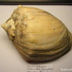 Coleccionismo de moluscos: CARACOL SHELL PACHYCYMBIOLA BRASILIANA. ARGENTINA.. Lote 191411182