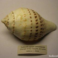 Coleccionismo de moluscos: CARACOL SHELL TURBINELLA PYRUM COMORIENSIS. SRI LANKA.. Lote 191414376
