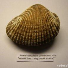 Coleccionismo de moluscos: BIVALVO SHELL ANADARA CORBULOIDES. DELTA DEL EBRO. ESPAÑA.. Lote 191421686