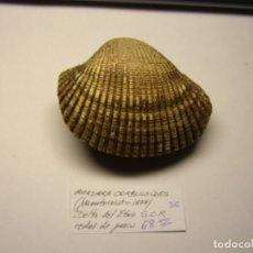 Coleccionismo de moluscos: BIVALVO SHELL ANADARA CORBULOIDES. DELTA DEL EBRO. ESPAÑA. Nº 2.. Lote 191421815