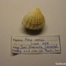 Coleccionismo de moluscos: BIVALVO SHELL ARCA SENILIS. SENEGAL.. Lote 191422152