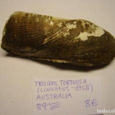 Coleccionismo de moluscos: BIVALVO SHELL TRISIDOS TORTUOSA. AUSTRALIA.. Lote 191422600