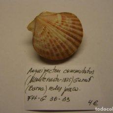 Coleccionismo de moluscos: BIVALVO SHELL AEQUIPECTEN COMMUTATUS. GARRAF, BARCELONA... Lote 191429802