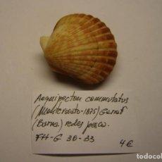 Coleccionismo de moluscos: BIVALVO SHELL AEQUIPECTEN COMMUTATUS. GARRAF, BARCELONA.. Nº 2.. Lote 191429827