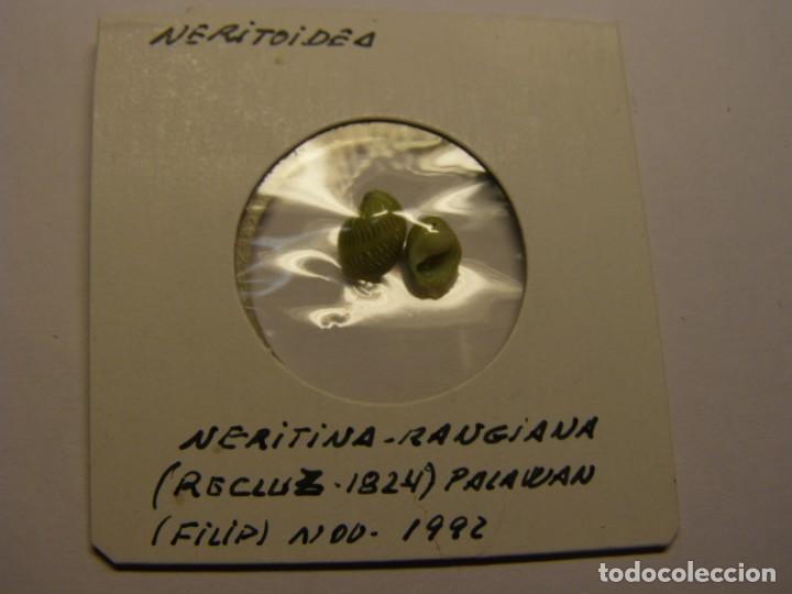 CARACOL SNAIL SHELL NERITINA RANGIANA. PALAWAN. Nº 1 (Coleccionismo - Malacología )
