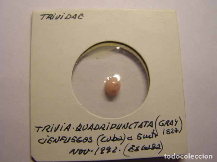 CARACOL SNAIL SHELL TRIVIA QUADRIPUNCTATA. CUBA. Nº 2 (Coleccionismo - Malacología )