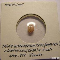 Colecionismo de moluscos: CARACOL SNAIL SHELL TRIVIA QUADRIPUNCTATA. CUBA. Nº12. Lote 192212000