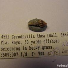 Coleccionismo de moluscos: CARACOL SNAIL SHELL CERODRILLIA THEA. . Lote 192249460