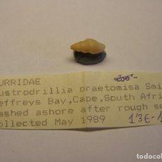 Coleccionismo de moluscos: CARACOL SNAIL SHELL AUSTRORILLIA PRAETOMISA. SUDÁFRICA. . Lote 192256678