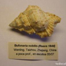 Coleccionismo de moluscos: CARACOL SNAIL SHELL BUFONARIA NOBILIS. CHINA. . Lote 192257033