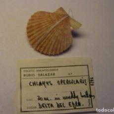 Coleccionismo de moluscos: CARACOL SNAIL SHELL CHLAMYS OPERCULARIS. DELTA DEL EBRE, TARRAGONA. . Lote 192257970